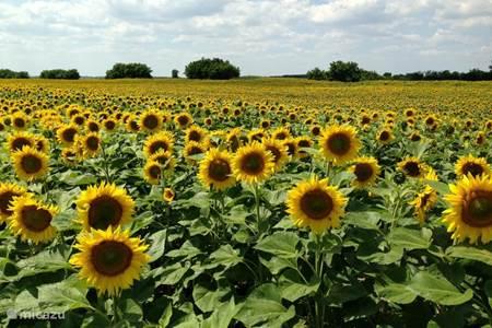 Velden met zonnenbloemen rond het huis