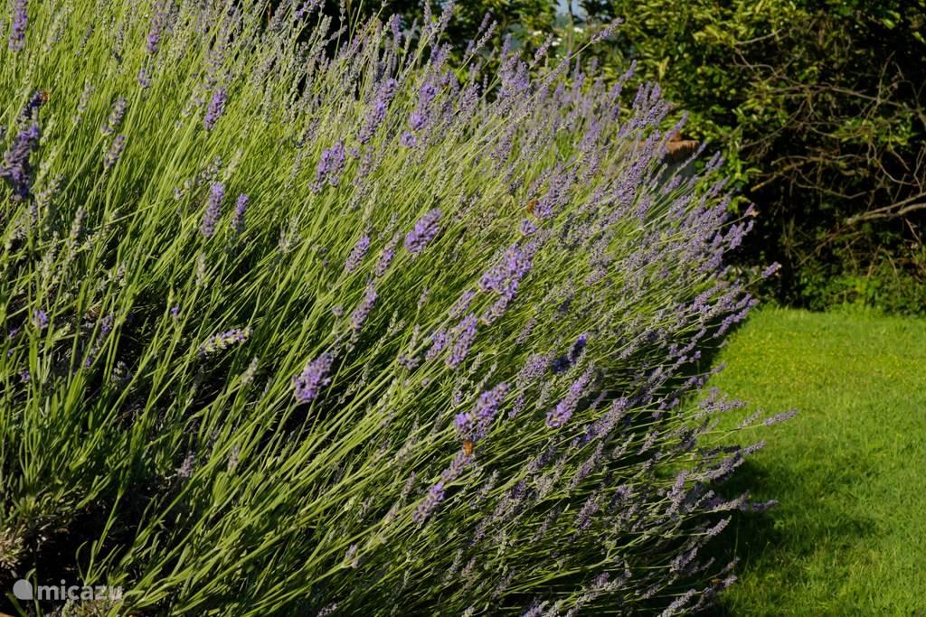 Veel lavendel in deze regio en in onze tuin