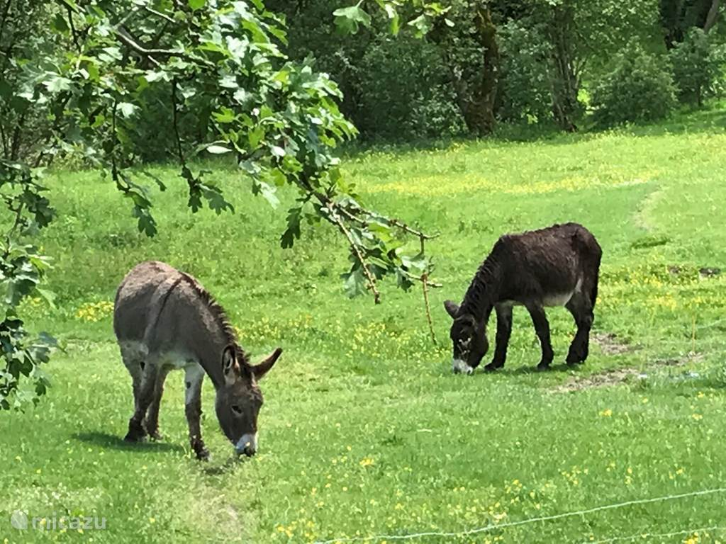 Onze ezeltjes.