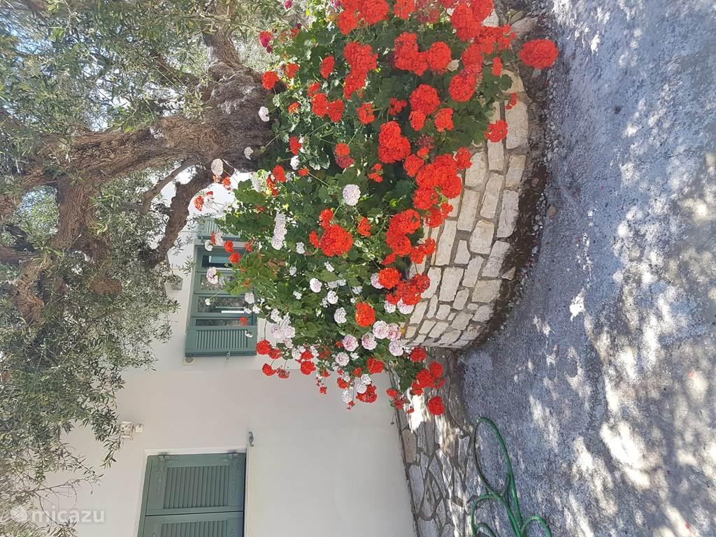 Entree van ons huis, de oude olijfboom die aangename verkoeling biedt.