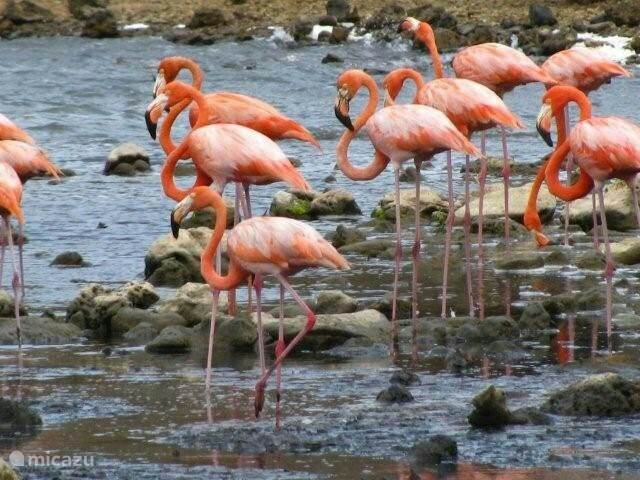 Flamingo's bij Jan Kok