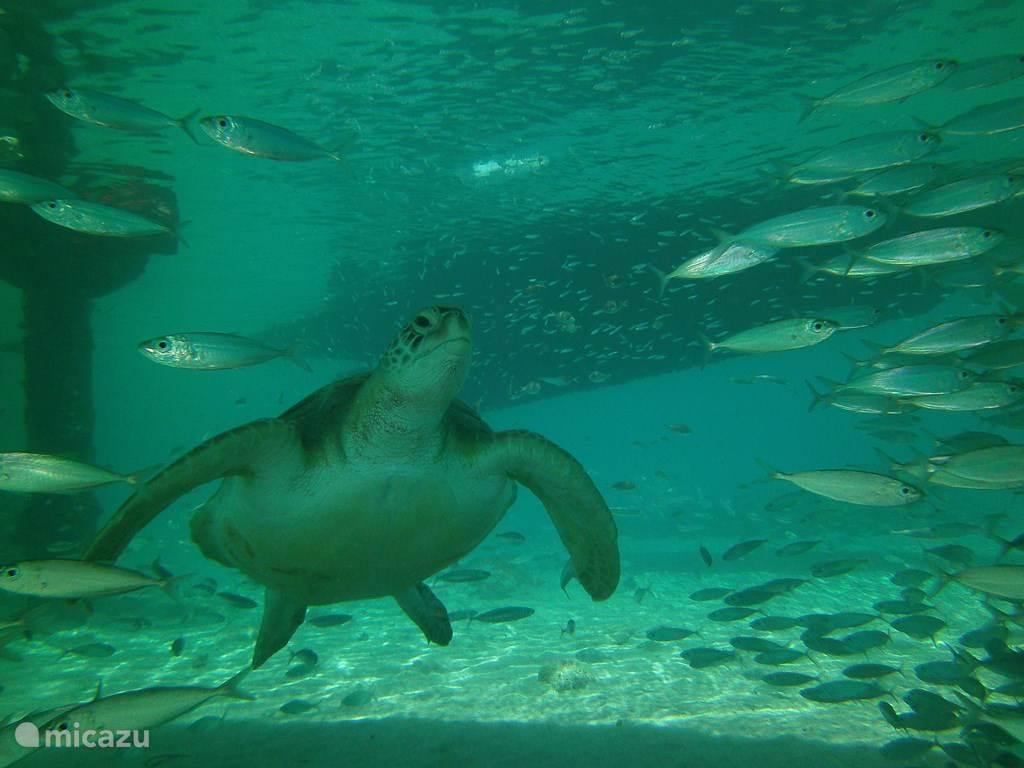 Snorkeling / swimming with turtles at Playa Grandi / Playa Piskado