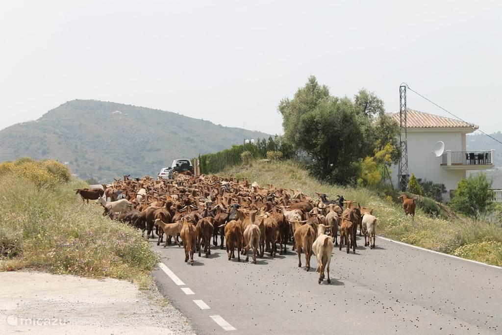 Dagelijks komt de herder met de geitjes voorbij...