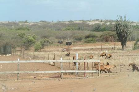 Goats are typical for Curacao