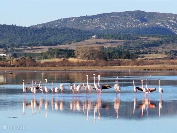 Flamingo's bij Peyriac de Mer (30 km)
