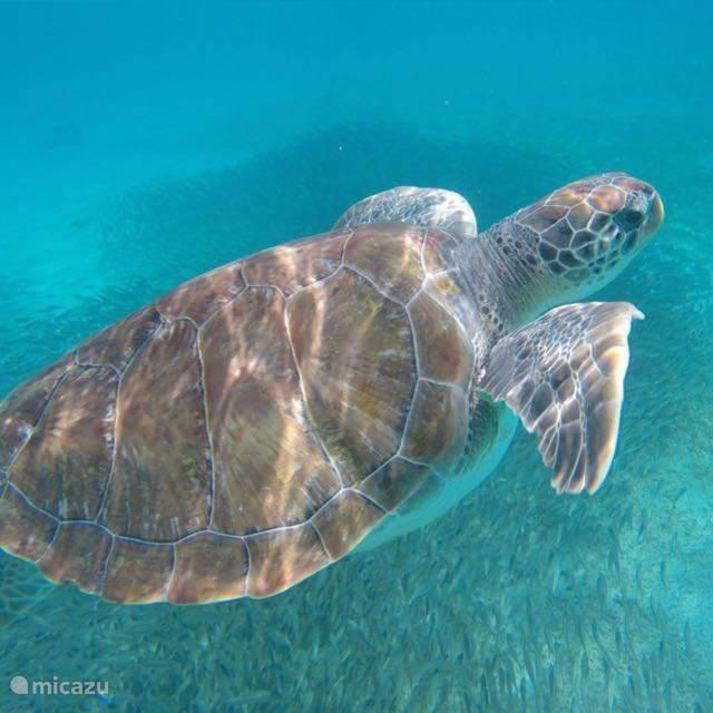 Zwemmen met zeeschildpadden