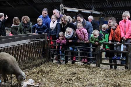 Lammetjes kijken op de boerderij