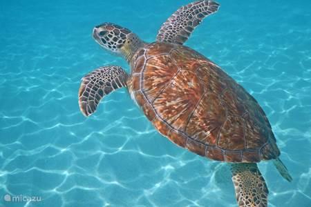 Playa Grandi with sea turtles