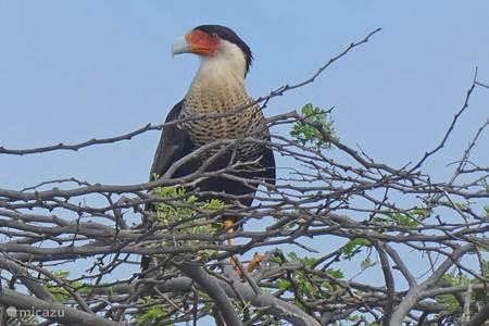 De roofvogel Warawara