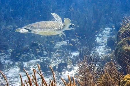 Eine grüne Meeresschildkröte