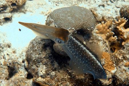Een pijlinktvis