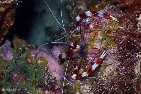 A Banded Coral Shrimp
