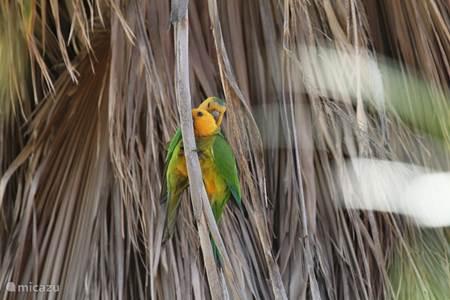 Bonaire's parkieten