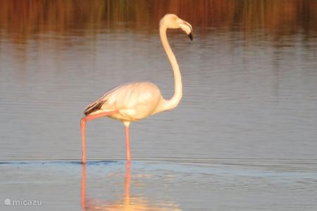 Overwinterende flamingo