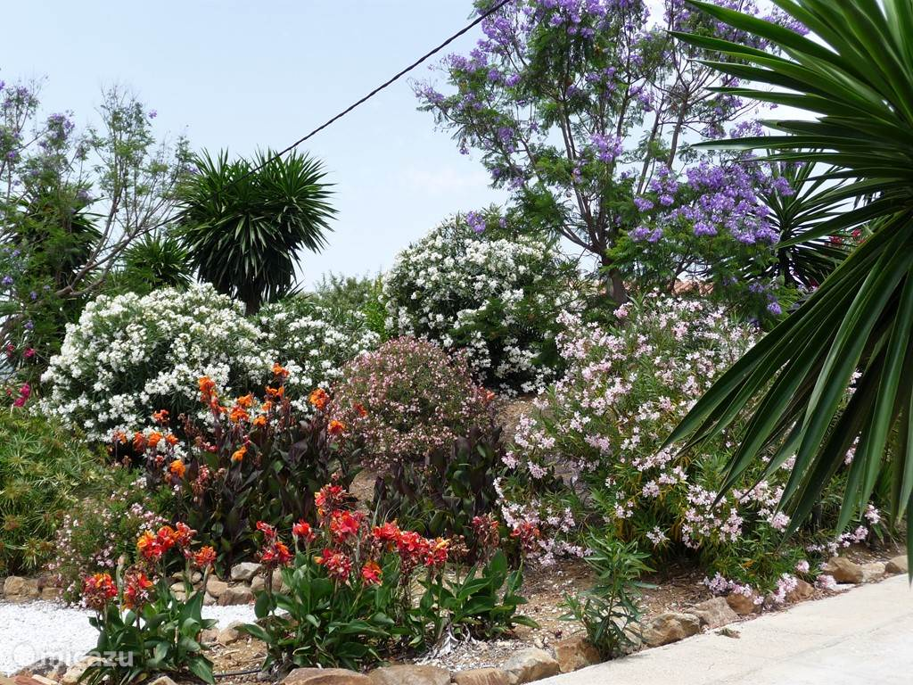 tuin in juni: jacaranda (blauw), cana, oleander, yucca, ...