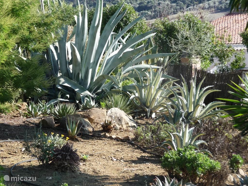 tuin: ingang - agave/cactus hoek