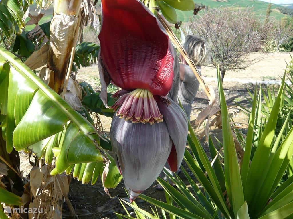 banananenboom: bloem