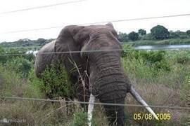 olifant bij hek achter villa 200 meter van de villa