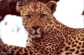luipaard,Krugerpark