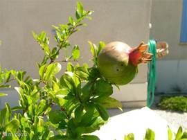 struikje granaatappel