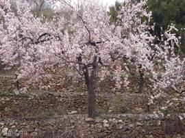 Bloeiende amandelbomen in het voorjaar in februari/maart. U kunt dan een z.g. bloesemrit maken door het achterland van de Costa Blanca. U rijdt dan door een prachtige omgeving, berglandschap, schilderachtige dorpjes en uitgestrekte amandelvelden.
