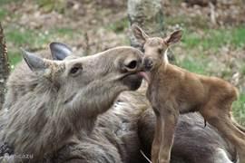 Ingelbo Moosepark in Västra Torup. Ervaar de magie van de Zweedse elanden! Ontdek de schoonheid van het grootste lid van de hertenfamilie in zijn natuurlijke omgeving .... 1 hectare om ze te zien in een park van 4 hectare.