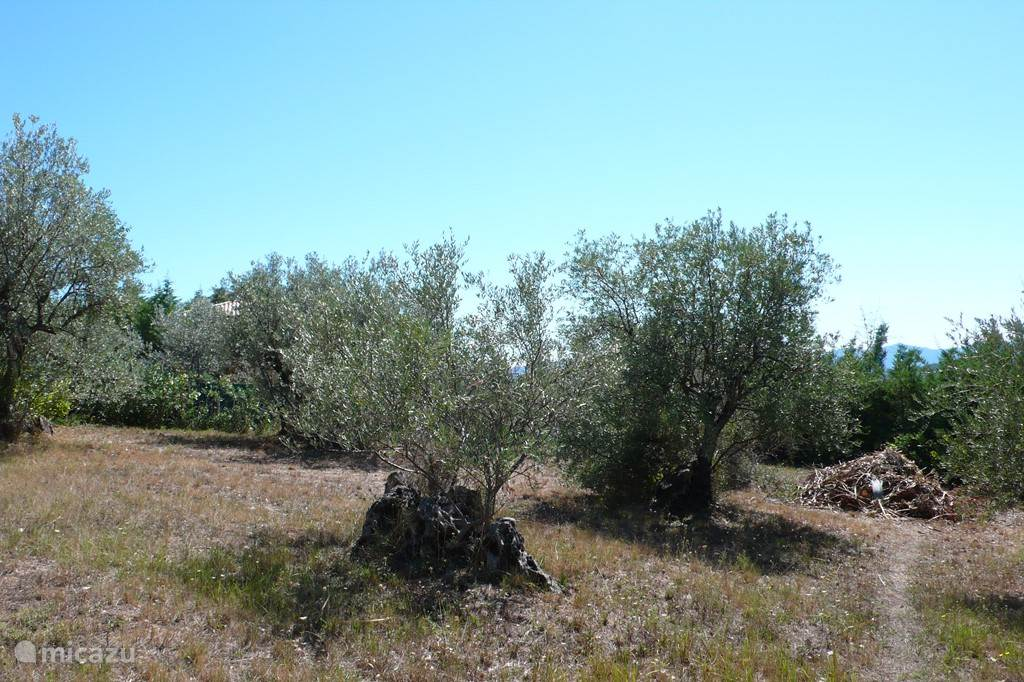 There are several olive trees in the (fenced) area.