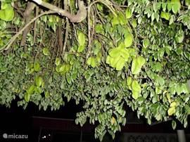 De carambola boom zit altijd vol met heerlijke vruchten. Probeer ze gerust. Zo lekker heb je ze nog nooit gegeten!