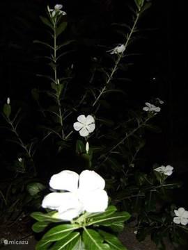 Mijn lieveling! Kotomisie, Eenvoudige bloem, toch sierlijk en zo dankbaar!