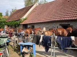 Paarden lekker afsponsen na een buitenrit, voordat ze weer het land op gaan.