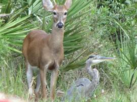 Een hert in de Everglades