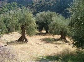 The grazing under the olive trees are barren in October. (Photo October 2004)