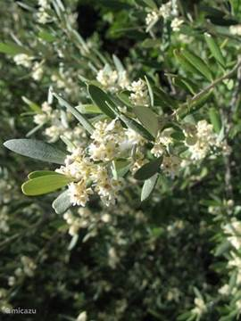 A thriving olive tree. (Photo May 2006)
