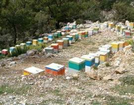 In the mountains, in the spring a busy hum of bees. (Photo May 2006)