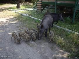 Wildvarken met haar jongen in Millipark.