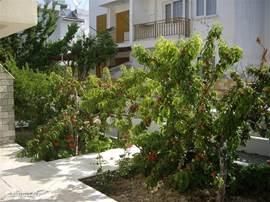Onze perzikenbomen in de achtertuin.