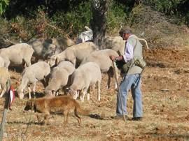 De herder komt langs Casa Adrianamet zijn schapen, gijten en lammetjes.Kijk eens hoe handig en snel zijn hond de kudde bijeen houdt.