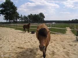 Onze IJslanders. Honi en Hordus, 2 fijne paardjes en heel lief en betrouwbaar.