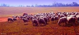 Grote kudde schapen