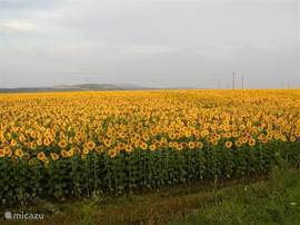 sunflower fields, some years they are there as far as you can see!