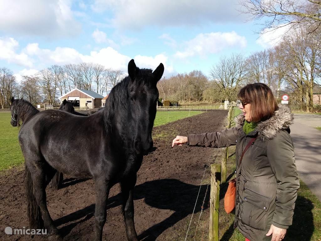 Wereldberoemd: originele Friese paarden
