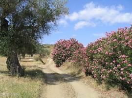De toegangsweg met de bijna altijd bloeiende oleanders.
