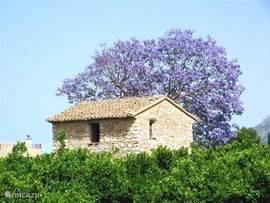 In het latere voorjaar bloeit overal de Jacaranda met zijn prachtige paarsblauwe bloemen.Eerst bloeit de bloem, pas later het blad. Dat is trouwens ook zo  bij de amandelboom. .