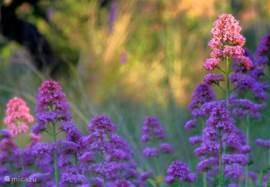 Valeriaan groeit  langs de berm van de weg. Zenuwleijersbloemen noemen wij ze( vanwege het valeriaantinctuur dat gebruikt wordt om rustig te worden).