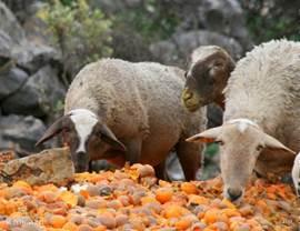 mocht u zich afvragen wat er met alle lekkere sinaasappels en mandarijnen gebeurt die niet worden verkocht? Schapen zijn er gek op