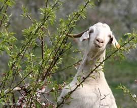 De geiten lopen hier in het wild en dan kan je zulke mooie plaatjes schieten. Deze geit lijkt op een goede kennis van ons, maar dat vertel ik hem niet.