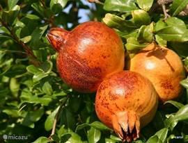 In september rijpen de granaatappels. Wel eens een door de zon gerijpte en verwarmde vrucht uit de boom geplukt en daarna gegeten? Moet u zeker een keer doen.