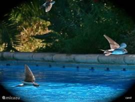 Zwaluwen vliegen razendsnel in duikvlucht over het zwembad voor een slokje water. het blijft vreselijk leuk om naar te kijken. Leest u vooral ook de achtergondinformatie op onze site, zo bent u nog beter geinformeerd.