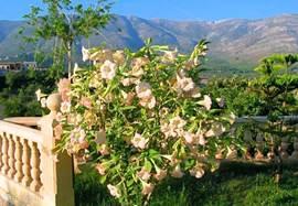 Bij de trap staat een stekje dat ik bij weggaan uit Nederland van een vriendin kreeg. Het is inmiddels een flinke struik. De rose datura.