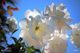 Bloemen zijn net zo belangrijk als bomen,maar bomen geven schaduw en de meeste Spaanse bloemen willen zon. Rozen, Gerbera's, Oleander, irissen, Spaanse margrieten, kippenpoepjes ( ik ken de officiële naam niet) Uienbollen, Galan de Noche Canna;s,Datura's,drie soorten Jasmijn, irissen lavendel,enz.